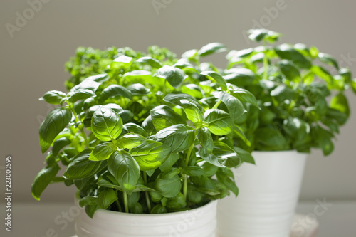 fresh basil and parsley herb in flowerpot