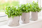 fresh basil herb in flowerpot on window - 223000716