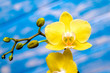 A branch of yellow orchids on a blue wooden background