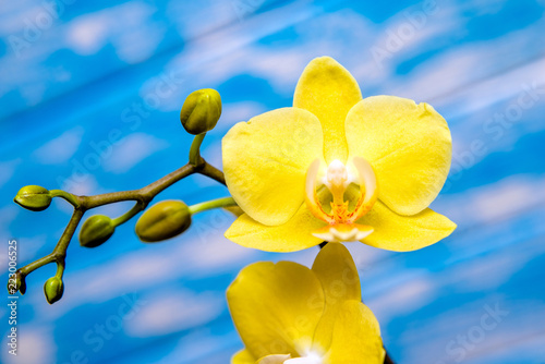 Fototapeta A branch of yellow orchids on a blue wooden background