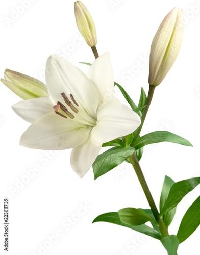 Fototapeta white lily flower