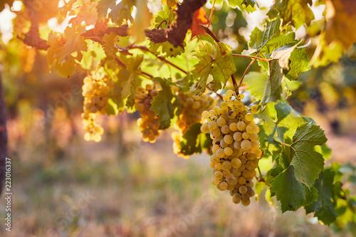 Winnica przy wschodem słońca, żółci winogrona na winorośli