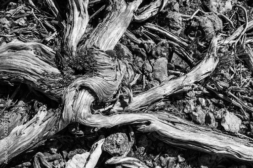 roots of a tree in black and white