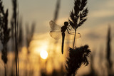 Silhouette of dragonflies on grass against the setting sun on an autumn evening. Close-up.
