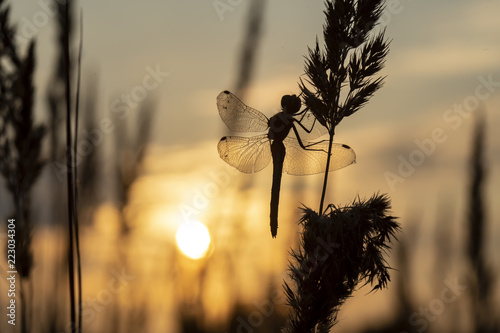 Silhouette of dragonflies on grass against the setting sun on an autumn evening. Close-up. - 223034304