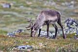 reindeer grazing in nature