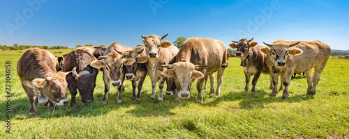 A herd of cows on a pasture in summer in Bavaria - Braunvieh - 223046158