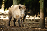 sanglier peste porcine marcassin gibier animaux foret ardennes Wallonie viande alimentation - 223057518