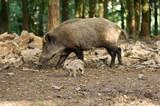 sanglier peste porcine marcassin gibier animaux foret ardennes Wallonie viande alimentation - 223057559