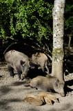 sanglier peste porcine marcassin gibier animaux foret ardennes Wallonie viande alimentation - 223057782