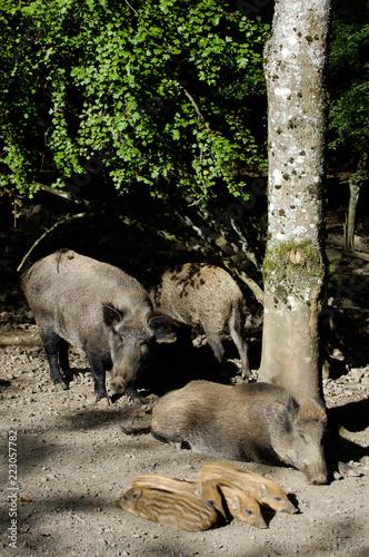 Foto Murales sanglier peste porcine marcassin gibier animaux foret ardennes Wallonie viande alimentation