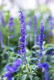 Der Echte Lavendel oder Schmalblättrige Lavendel - 223058588