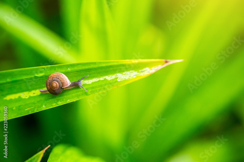 Leinwandbild Motiv Close up snail on the green leave in the moring. snail sign of moisture and rainy. natural wallpaper. alive with nature life concept.