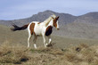 Wild Mustang Pinto Running in Nevada