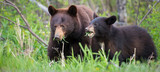 Black bear in the Rocky Mountains - 223076320