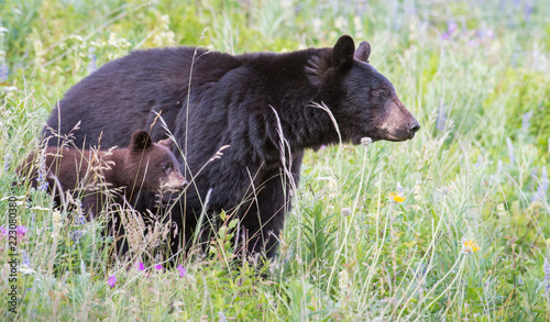 Foto Murales Wild black bear in the Rocky Mountains