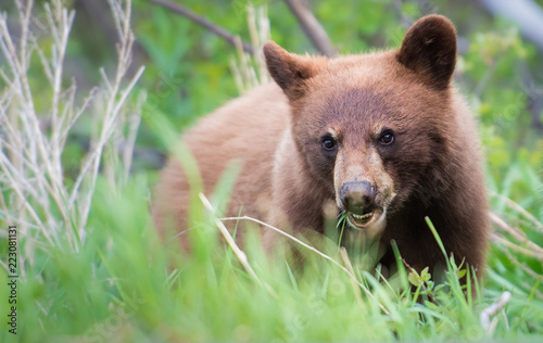 Wild black bear in the Rocky Mountains - 223081131
