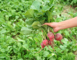 close up on a bunch of radish holding in hand - 223097104