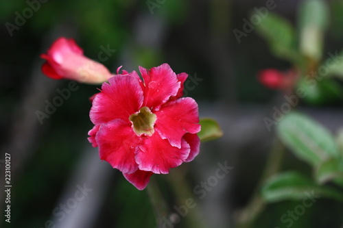 red flower of plant on blur background - 223100127