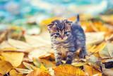Little kitten walking outdoor on the fallen leaves in the autumn garden - 223112772