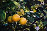 Bio Orangen mit Wassertropfen am Baum - 223118157