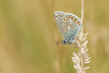 A stunning Common Blue Butterfly (Polyommatus icarus ) perched on a grass seed head .