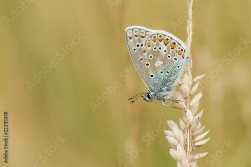 A stunning Common Blue Butterfly (Polyommatus icarus ) perched on a grass seed head . - 223118348