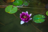 purple water lily in small pond close up - 223121590