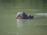 hippopotamus - 223126524