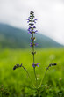 Violet flower in a mountain meadow