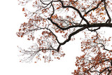 Oak tree branches with red autumn leaves