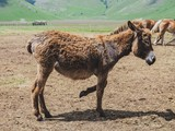 Foal, a baby horse standing on a background of mountains in the Italian region Umbria