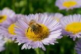 Honey bee - 223148536