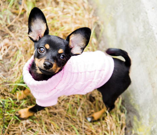 The puppy in knitted clothes poses - 223149103