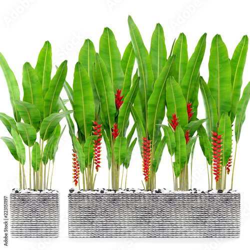 heliconia in pot - 223151197