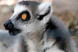 Portrait of ring-tailed lemur - 223153733