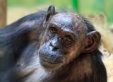 Beautiful portrait of the common chimpanzee (Pan troglodytes), aka the robust chimpanzee, a species of great ape