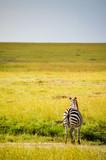 A lone Zebra looks into the vast field in Masai Mara - 223156190
