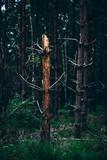 Dead broken tree trunk of pine in forest. - 223161589