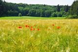 hellgrünes Gerstenfeld mit roten Mohnblumen  - 223161975
