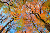 Beautiful canopy view in autumn in the Speulder forest in the Netherlands with vibrant colored leaves
