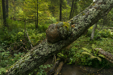 burl on an inclined mossy tree trunk in the forest..