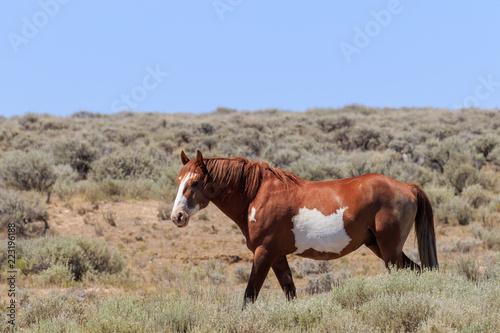 Wild Horse in the High Desert of Colorado