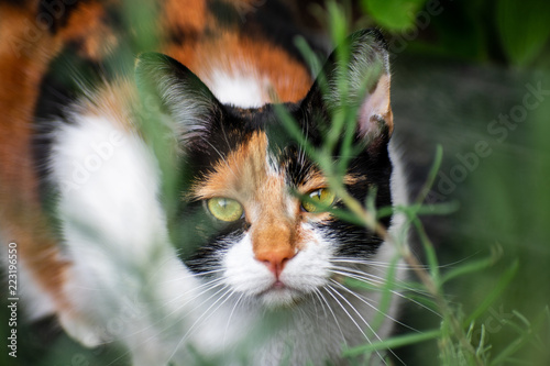 Tortoiseshell cat hiding in undergrowth
