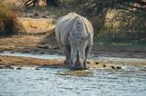 A cute white bull rhino drinking water in Makorwane dam hide in PIlanesberg north west province south africa - 223206177