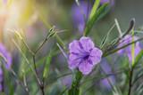Violet flowers of petunia in small garden - 223211529