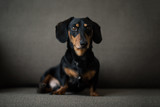 Dachshund, pure bred miniature dog siting on a sofa, black and tan, selective focus