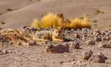 Desert Fox - 223219934