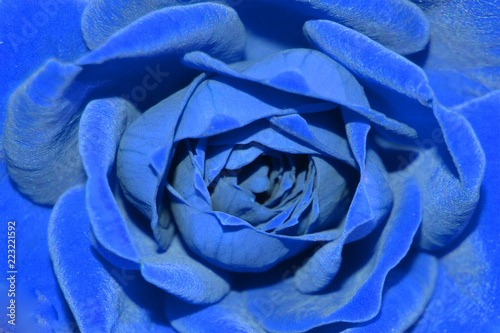 Niebieska róża, płatki, tło.