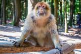 Nahaufnahme eines Affen - 223225543